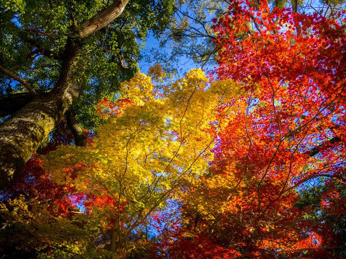 宇治川の両岸には、モミジ、カエデになど落葉樹が立ち並んでいます。鮮やかに彩った樹々を見上げながら、宇治川畔を散策する気持ちよさは格別です。