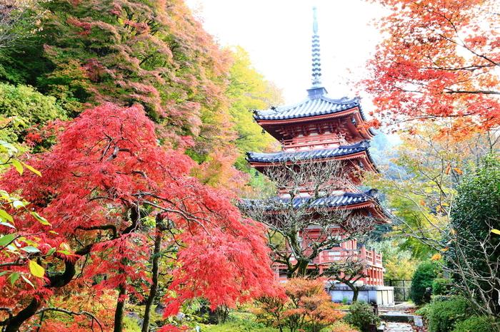 秘仏・千手観音像を御本尊として祀る三室戸寺は、8世紀後半頃に創建された寺院です。境内にはサクラ、ツツジ、シャクナゲ、アジサイ、秋明菊といった季節の花々が植えられている三室戸寺は、「花の寺」として親しまれています。