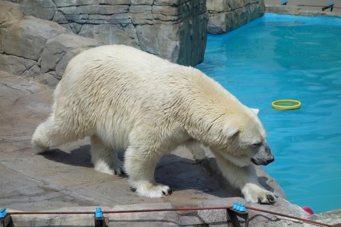 子供といっしょの旅行なら、「円山動物園」も外せないスポット。「エゾシカ・オオカミ舎]「アジアゾーン」「アフリカゾーン」など室内観覧できる施設もあちこちに設けられているので、冬や日差しの強い時期の観覧も安心です。