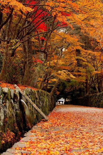 宇治川の畔から興聖寺山門まで続く約200メートルの参道「琴坂」と呼ばれており宇治十二景の一つに数えられています。モミジの老木が並木となっている琴坂を歩いていると、まるで紅葉のトンネルの中に迷い込んだような気分を覚えます。