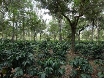 グアテマラの多くのコーヒー農園が日陰栽培(シェードツリー)を取り入れています。背の低いコーヒーの木を強い日差しから守るため、等間隔で背の高い木を植えて日陰を作るのです。これはグアテマラの豊かな自然、動物たちの保護にも役立っています。