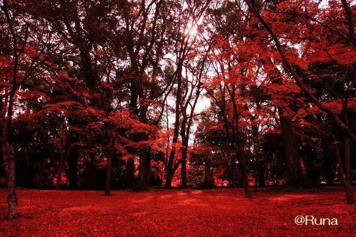 鹿苑寺の見どころは、舎利殿だけではありません。境内いっぱいに植樹された落葉樹は、見ごろを終えた後も、散紅葉として庭園を埋め尽くし、赤い絨毯を敷き詰めたような美しい景色を見せてくれます。