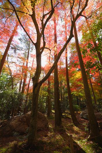 世界遺産に登録されている臨済宗の寺院、龍安寺には、カエデ、モミジ、桜など約400本もの樹々が植樹されており、晩秋になると鮮やかな彩りを見せてくれます。
