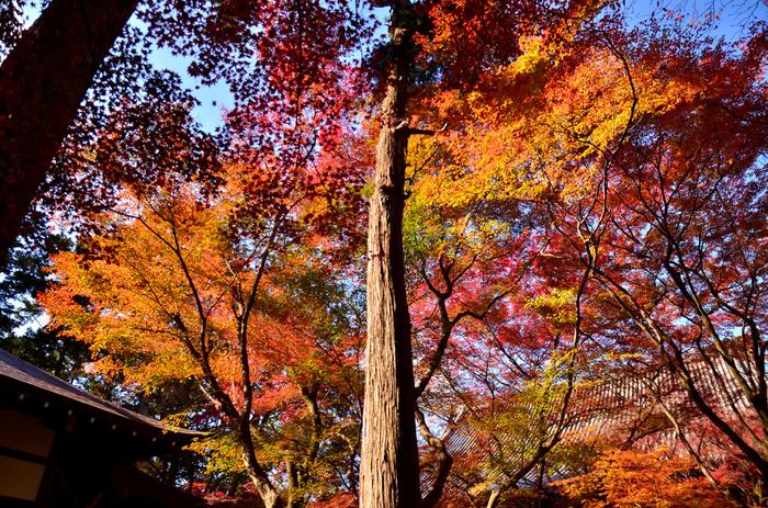 境内には、モミジなど様々な落葉樹が植樹されています。心地よい秋の風を肌で感じながら空を見上げると深紅、朱色、橙色、黄色に染まった樹々のグラデーションが天を覆っています。