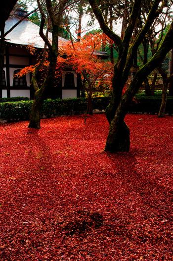 金戒光明寺の紅葉は、見頃が終わった後でも素晴らしい景色を見せてくれます。散紅葉が庭園を覆い尽くす様は、まるで境内に深紅の絨毯を敷き詰めたかのようです。