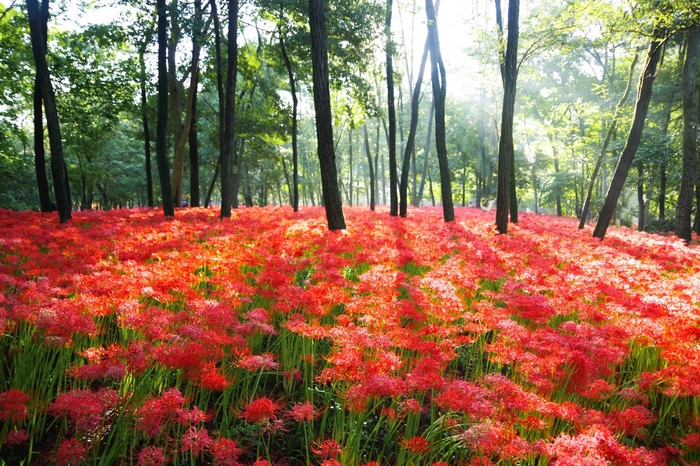 500万本の曼珠沙華が赤色の絨毯を生み出す埼玉県日高市の「巾着田」。