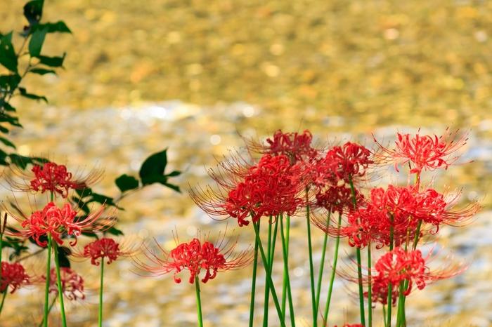 曼珠沙華のほか、コスモスが咲き乱れる上流エリアも秋の景色を楽しめるおすすめポイントです。ハイキングコースもあるので、のんびりと散策を楽しみましょう。