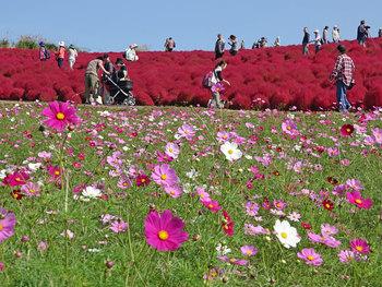 真っ赤なコキアに優しいピンク色のコスモス。天気が良い日なら青空のコントラストが秋の絶景をもたらしてくれます。遊園地も併設されているので、小さなお子さんがいるご家族でも楽しめるスポットです。