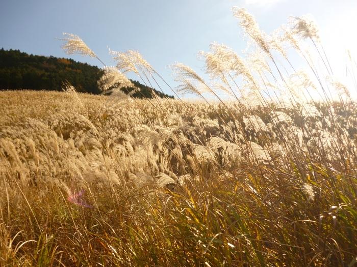 かながわの景勝50選、かながわの花の名所100選に選ばれる仙石原のすすき草原。台ヶ岳の斜面に広がる迫力のある景色は、自然の雄大さを体感できます。