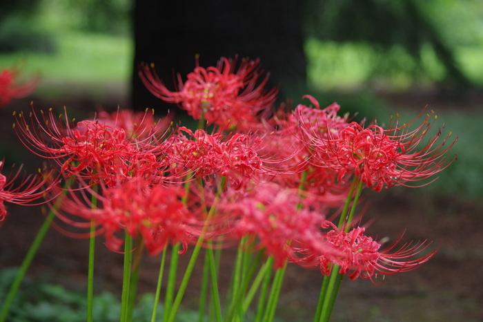 四季折々の花を楽しめるのも新宿御苑の魅力。秋には、紅葉はもちろんヒガンバナやキンモクセイなどの美しい花々を見つけることもできますよ。