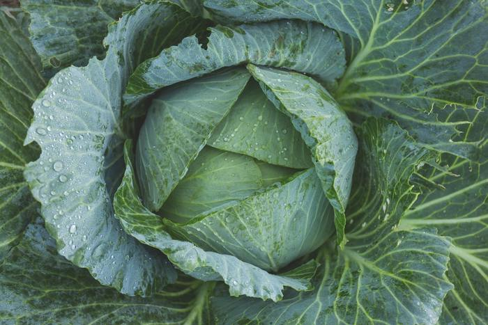 年間通して巻き時がたくさんあるキャベツですが、春〜夏の虫が多い時期は管理が大変ですよね。秋なら害虫も減ってくるので育てやすくなりますよ。品種は「秋用」を選ぶと失敗が少ないでしょう。水はけは良くし、肥料は多めで追肥も必要です。害虫予防にネットを張る方法もおすすめ。