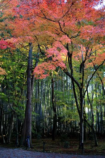 竹の青が、紅葉の赤を引き立ててくれる地蔵院。実は予約制で楽しめるお抹茶とお菓子が、美味しい事でも知られています。