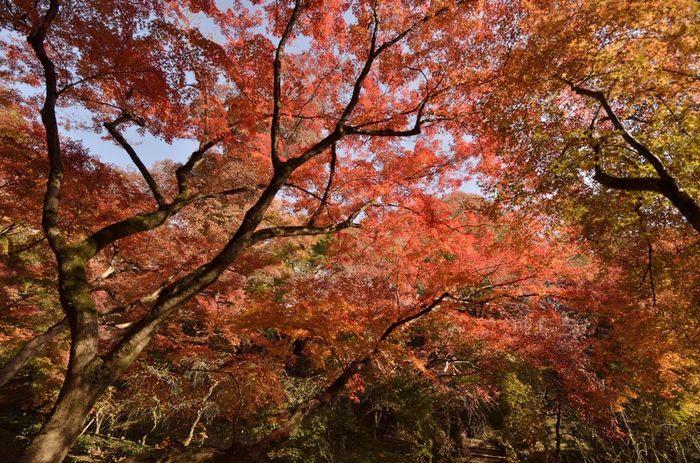 もみじ苑には自然林のほかに、約300本ものモミジが植樹されています。紅葉が見ごろを迎えるころ、もみじ苑は、錦を纏ったかのような姿となり、参拝者を魅了してやみません。