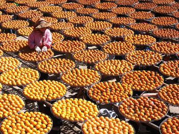 路地ものの柿がおいしい旬の時期は、品種により多少違いはありますが10~11月。 国内の柿生産量の1/4を占めるのは「富有柿(ふゆうがき)」という品種で、四角く平べったい形が特徴の甘柿です。 国内で柿を多く生産しているのは、和歌山県、奈良県、福岡県など、温暖な西日本での生産が盛んです。