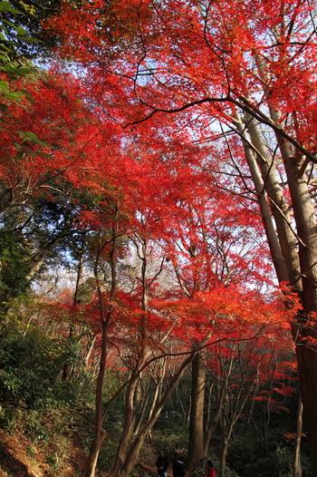 真っ赤な紅葉も。