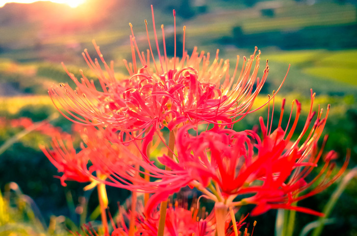 歴史ロマン漂う明日香村は、豊かな自然とのどかな雰囲気も魅力。例えば、棚田が広がる稲渕地区は、きれいな夕景が見られることで有名。特に秋には彼岸花が群生し、さらに美しい風景になります。