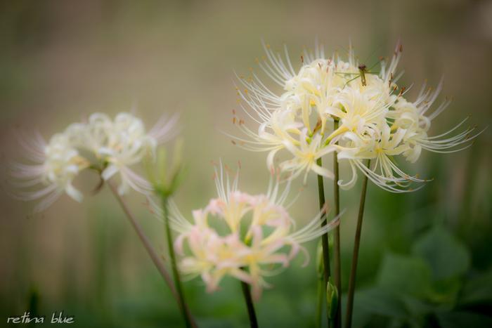 こんなめずらしい白い彼岸花も見られます。他にも黄色い彼岸花があり、場所によっては赤・黄・白の3色の彼岸花が一度に見られることも。