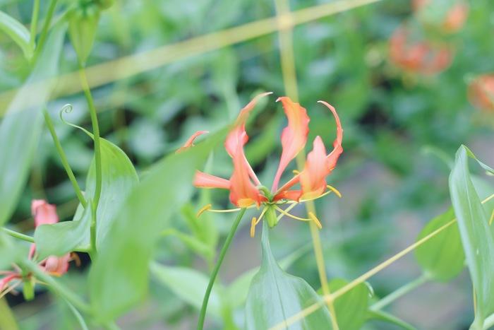 【連載】『霽れと褻』代表・田中さんに教わる「花ごよみ」vol.4-グロリオサ・ヴィレッセンス