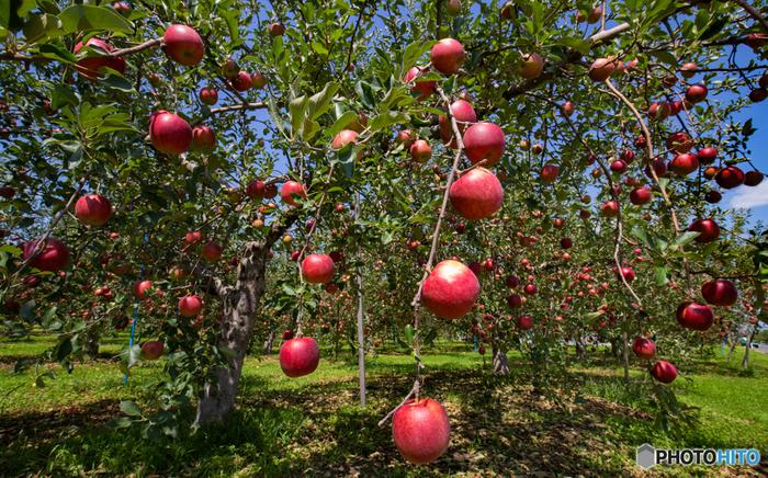 """・ふじ… 世界中で""""fuji""""の名で親しまれているりんごです。甘みとほのかな酸味のバランスが絶妙で、時期によっては蜜入りのものも見られます。生食に適したりんごです。  ・つがる … 皮が赤く酸味が強いりんごです。生食の他、火を通して使う料理にもマッチします。  ・王林… 黄緑色の皮が特徴のりんごで、甘みが強く、やや硬めの果肉で多汁です。特徴のある香りがあります。"""