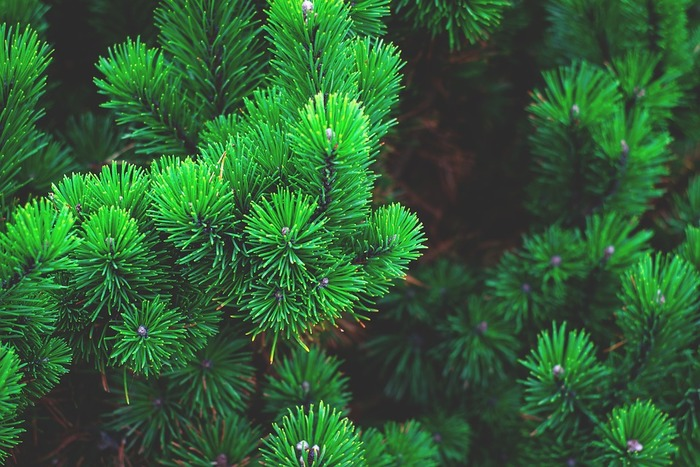 日本ではとても縁起のよい植物とされている松。 冬でも緑を絶やさないことから、不老長寿の象徴ともされています。  お正月が終わったら、飾りをそのまま入れてみても雰囲気を味わえそうですね。