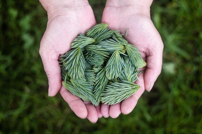 松の葉からは、森林浴のような香りがほんのり漂います。 日本人だけが好む香りかと思いきや、ヨーロッパでも人気の香りだそうです。