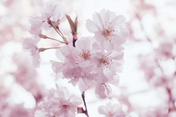 優しい、甘い香りを感じることができる桜。香りにアロマと同じリラックス作用があるそうです。 春は別れと出会いの季節。 ストレスが溜まりやすい時期でもあるので、桜の香りで身も心もリラックスできそうですね。
