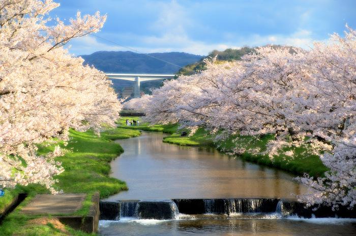 咲き誇る姿を見て惚れ惚れした後は、じっくりと温まれる「桜湯」で体をほぐす。 なんとも贅沢な春の訪れですね。 温泉地では外国の方達にも大人気だそうです。