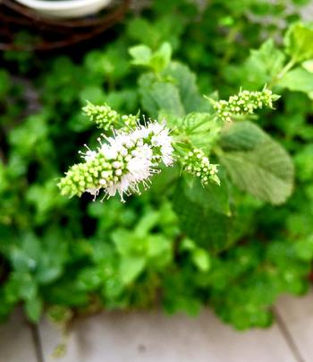 西洋風に表現すると「ミント」と呼ばれる植物です。 湯上りはすっきりでき、クール効果で汗のひきも早いので寝苦しい夏には大活躍しそうなお湯ですね。