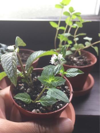 ミントは自宅のお庭やベランダでも育てることができます。 日当たりさえ良ければ窓辺でも栽培できますよ。 お風呂だけでなく、お料理にも使えるので重宝しそうですね。