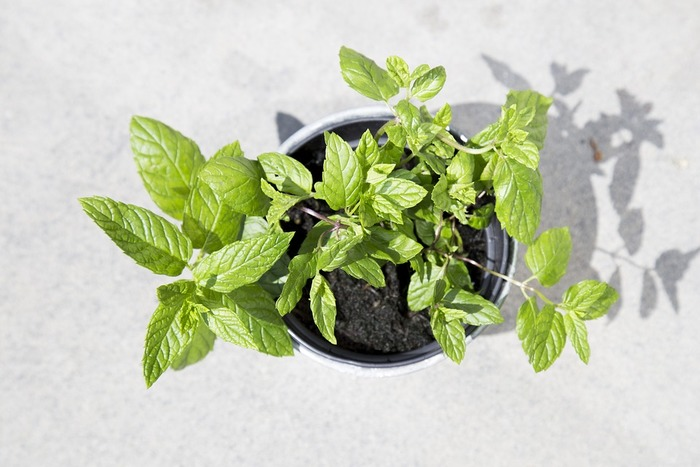 繁殖力の強い植物ですが、生き生きとした葉っぱをとるには、日当たりの良い場所が最適です。ミントはたくさんの種類があるので(600種以上あると言われています)、いろいろと栽培して香り比べをするのも楽しそうですね!