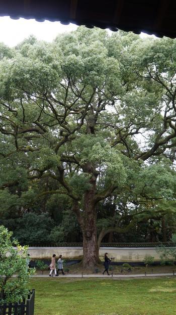 【11月下旬の「青蓮院門跡」の天然記念物の大楠。楠(クスノキ)は、一年を通して緑が楽しめる常緑高木。】