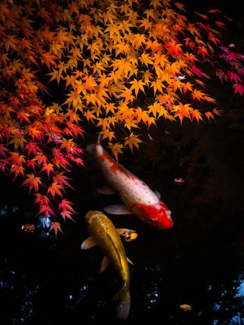 錦鯉が泳ぎ、睡蓮が浮く池には、意匠を凝らした木や石の橋が渡り、絵巻を眺めるような、豊かな気持ちで周り歩けます。