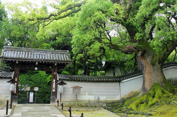 「青蓮院門跡」は、三千院、妙法院と並ぶ、天台宗三門跡の一つです。知恩院の北方(粟田口三条坊町)に位置し、南禅寺から直接歩けば10分程で到着します。【「青蓮院門跡」入口。右は、京都市指定天然記念物の楠の大樹。(画像は6月中旬撮影)】
