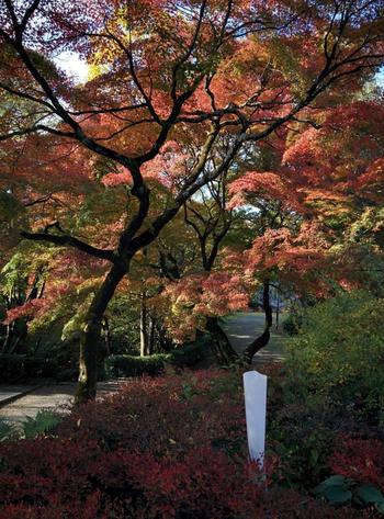 「知恩院」の大鐘楼から、階段を降りて左手に進めば、そこは、もう「円山公園」。京都市民の憩いの場です。 【11月中旬の円山公園周辺。知恩院から円山公園へと至る道。】