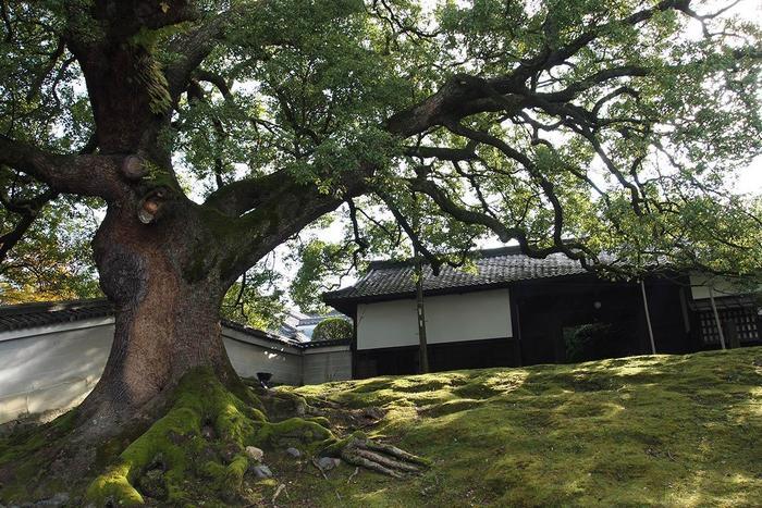 【拝観入口右側の「長屋門」と、京都市の天然記念物の楠(クスノキ)。青蓮院門跡には、この1本を含め全部で5本の大楠があり、この界隈らしい閑雅な景観を生み出しています。】