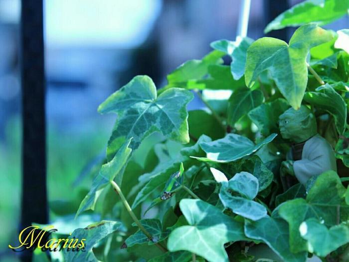 学名はへデラ・へリックス。耐寒性、耐陰性に優れ、置く場所を選ばずどんどんツルを伸ばしていきます。高いところに飾って成長を楽しみたいですね。葉に白や黄色の斑の入ったものや、葉が細いもの、縮れているものなど、いろいろな種類があるのも魅力。