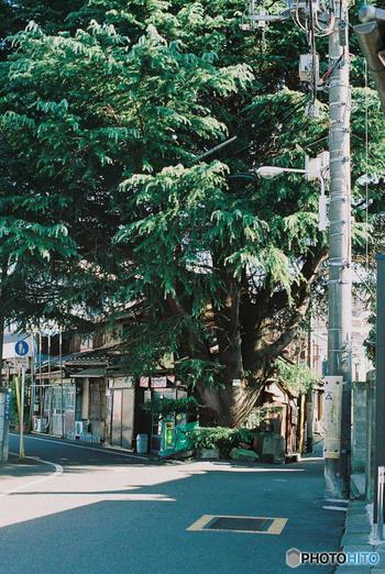 樹齢約100年という巨大なヒマラヤ杉。谷中のシンボル的存在として、地元の人々から愛されています。