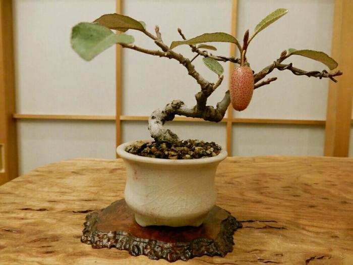 """""""グミの木""""は多くの実をたわわにつける、大きく育つ木です。盆栽ではあえて実付きや枝ぶりを制限します。その丹精込めたお世話によってこんな素敵な鉢に仕上がるんですね。 湾曲した幹と実の配置が絶妙です。"""