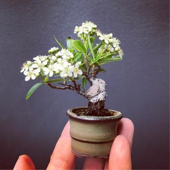 """お花見も手のひらにのせて。こちらの""""ピラカンサ""""は生垣にも多く使われる植物で、花の可愛らしさ、鮮やかな実は四季を通じて愛らしい姿を見せてくれます。"""