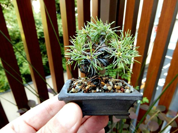 """""""松""""は盆栽の定番。育ちが早く、堅牢な幹、堂々とした姿など、育てる楽しみが広がる植物です。初心者にもオススメされる一方、長い時間をかけて形作られた名作・大作も数多く現存しています。 もちろん豆盆栽のように小さくしてても、独特の堂々とした景色を見せてくれますよ。"""