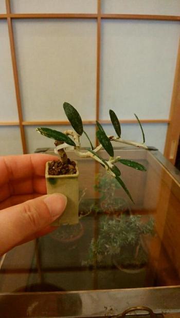 """「松柏(しょうはく)盆栽」と呼ばれる、五葉松やミヤマビャクシンなどの常緑樹のグループ以外の木を使った盆栽は、「雑木盆栽」と呼ばれます。 """"オリーブ""""は洋風のイメージが強い木ですが、雑木盆栽として楽しむこともできます。丸みのあるオリーブの葉はリズミカルに枝をにぎやかしてくれます。葉色と幹色の強いコントラストも、オリーブならではの魅力です。"""