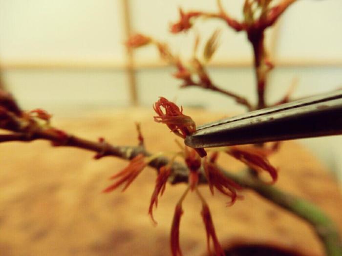 形を損なう不要な枝を「忌み枝(いみえだ)」と呼びます。一箇所から方々に伸びる枝や、水平に横切る枝などをそれぞれ適切に処理することで美しい姿を形作っていきます。