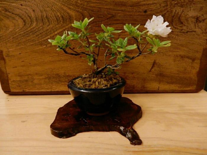 鉢、根、幹、葉、花、実、と植物の丸ごと全部を隅から隅までじっくり愛せるのが盆栽の魅力。ゆっくりと成長する盆栽の鼓動は、世話をするほどに愛おしく感じられますよ。 様々な種類の木々や草花、苔から好きなものを選んで、自分だけの小さな盆栽を仕立てて育ててみませんか?