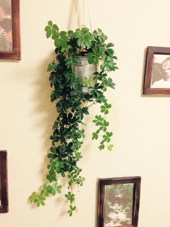 ゴムの木の葉は大きくて光沢があり、皮のように厚みがあるのが特徴。存在感があり、置くだけでお部屋がオシャレな雰囲気に!乾燥や寒さに強く、日陰にもたえられるので、冬場の日当たりの良くないお部屋でも育てられます。