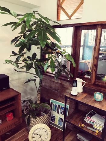 風水では金運を向上させる効果があることから人気のパキラ。半日陰で風通しの良い場所を好み、乾燥にも強いので育てやすい植物です。あたたかい季節は直射日光を避けた屋外でよく育ちますが、休眠期に入る晩秋頃から室内に移動させましょう。