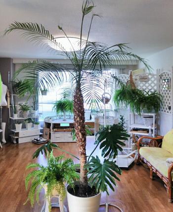 ヤシの木の仲間で常夏のイメージが素敵な観葉植物ですが、日当たりさえ良ければ寒さには意外と強く、0℃ぐらいまで耐えられます。乾燥には弱いので、暖房の空気が直接あたる場所には置かないようにしましょう。水やりをしっかりとやり、定期的に葉水を与えると生き生きと育ちます。