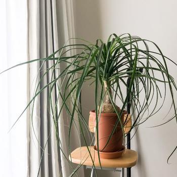 細長い葉が垂れる様子が馬の尻尾のように見えるポニーテールパーム。トックリランやノリナとも呼ばれており、株元がぷっくりと膨らむのが個性的な植物です。メキシコ原産の植物ですが耐寒性があり乾燥にも強いので、冬の室内で安心して育てられる観葉植物です。