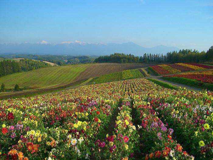 大地がカラフルな絵の具を乗せたパレットのような「四季彩の丘」も秋色に染まり、秋の花々が可憐に咲きはじめます。