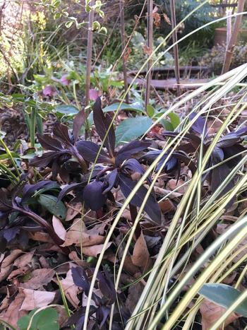 冬枯れのお庭に首を擡げるのは、黒い葉色がめずらしい「ルーセブラック」という交配種。土の中のエネルギーを感じるクリスマスローズの姿は、厳しい冬の庭の美しさを際立たせてくれます。
