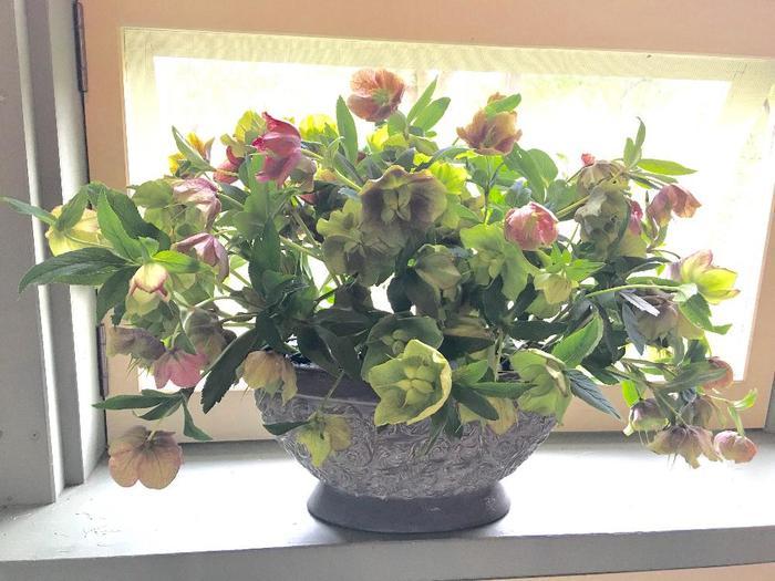 クリスマスローズは熱湯で水揚げすると、切り花にしても長持ちします。この時期ならではの色合いや、ふくらんだ種房の可愛らしさを最後まで楽しんで下さいね♪  <湯あげの手順> ①きれいに切り戻した花茎を束ねて、茎が数センチ出るようにして、新聞紙でくるむ。 ②コップなどに熱湯を2〜3cm入れ、1〜2分、茎を茹でるように漬ける。 ③新聞が半分つかるくらいの水に移し、1〜2時間つけておく。  花茎を長めに残して深めの花器にいれ、元気がなくなってきたら茎を少しカットし湯上げを繰り返すことで、長く楽しむことができます。